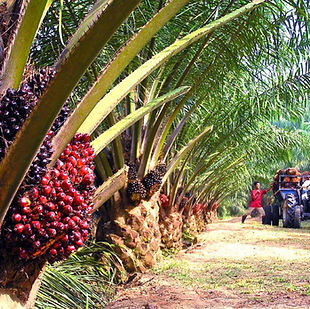 29_palm_oil_1498641379.jpg