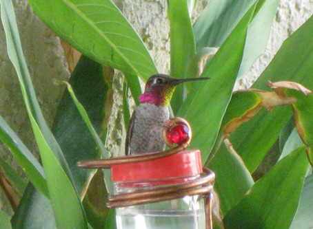 Educational and Informational Links for Hummingbirds