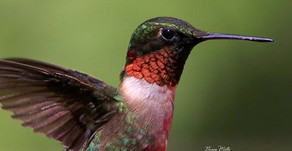 My Hummingbirds are missing!