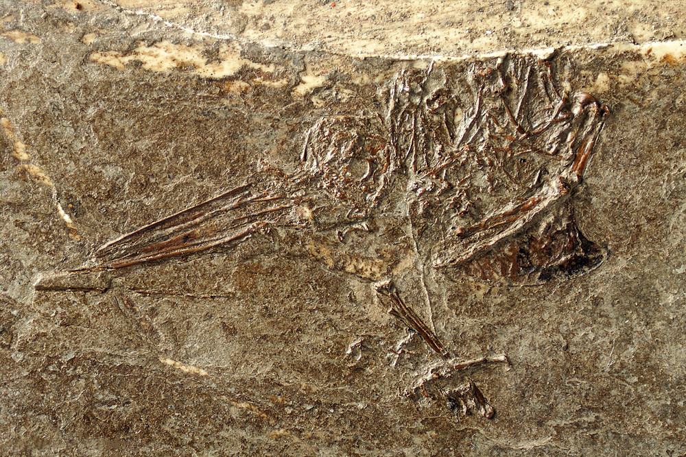 Fossilized remains of a Eurasian Hummingbird.  Note the long beak and wing bones.  The wing bones are in the lower right portion of the fossil.