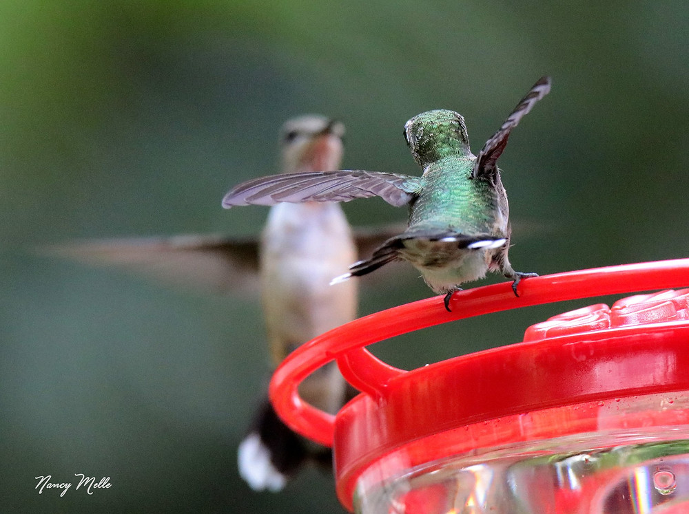 Two Ruby Throat Hummingbirds compete for a spot at a Hummingbird Feeder.  Photo by Nancy Melle, USA