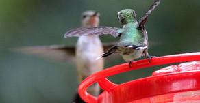 Why are Hummingbirds Aggressive?