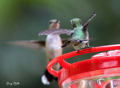 Why are Hummingbirds Aggressive?