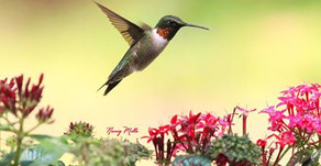 How Long Do I leave My Hummingbird Feeder Out in the Fall?