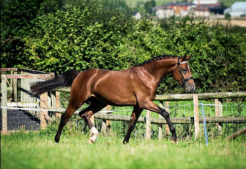 warmblood, stallion, cash legend, irish sport horse, show jumper, welsh, bay
