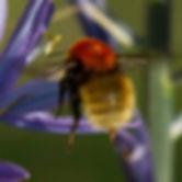 Shetland Bumblebee_edited.jpg