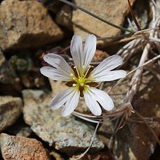 Edmondston's Chickweed_edited.jpg