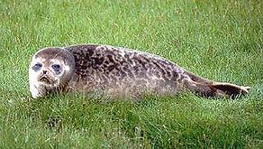 Ringed Seal, Shetland