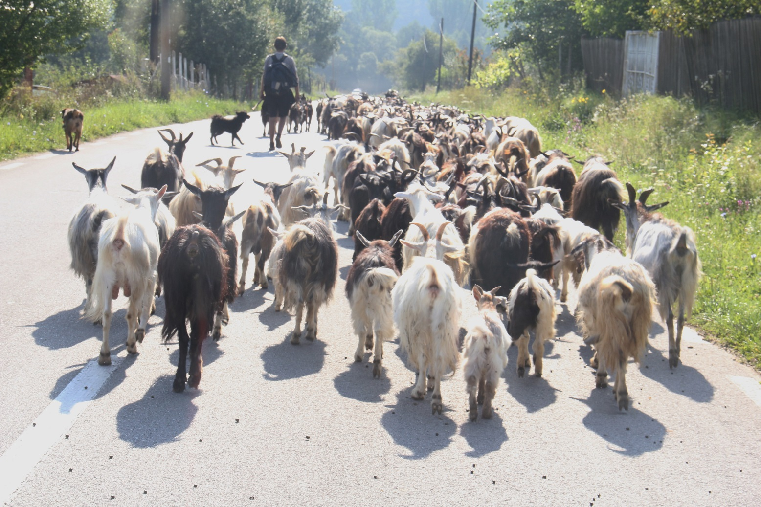 romanian goats