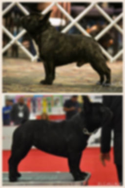 Pedigree SMOKE AKC