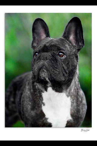 ROCAMBOLE Bulldog