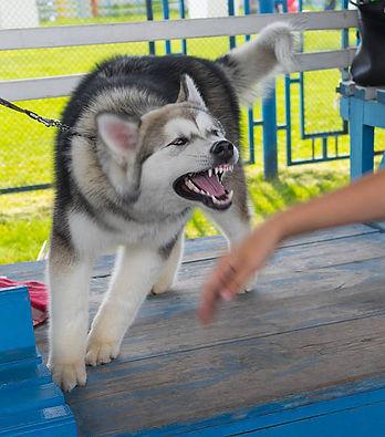 chiens agressif humain