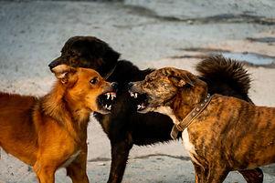 chiens agressifs