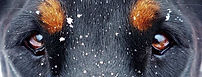 doberman-vista-copos-nieve.jpg