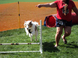 Kingsley working the agility course