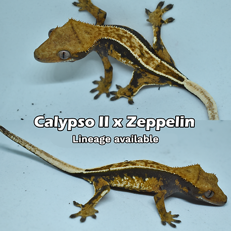 calypso x zeppelin 9-30-2019 no price.pn