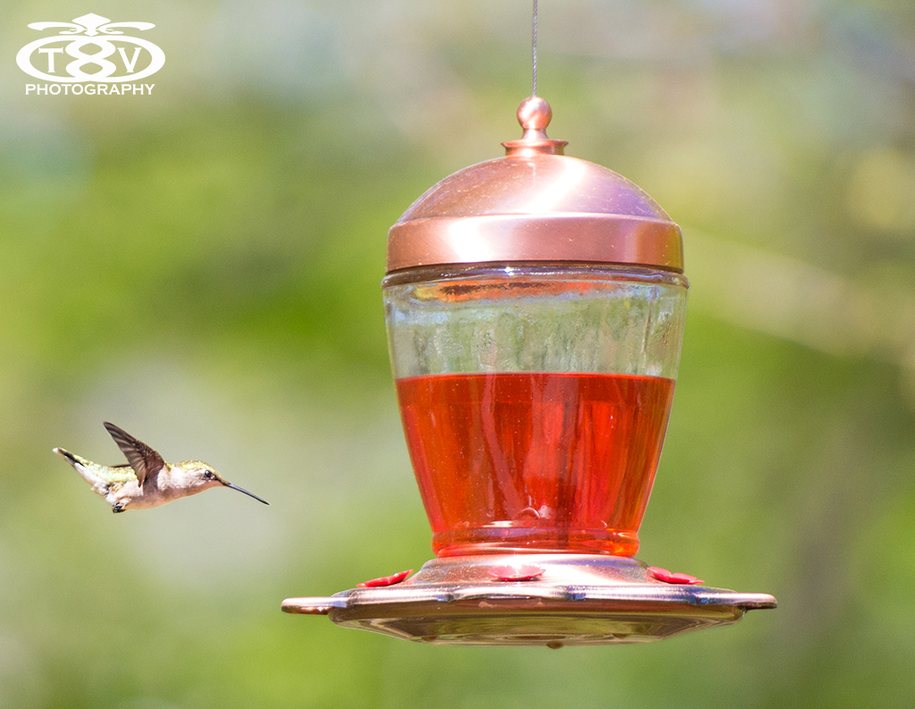 hummingbird resized (1 of 3).jpg