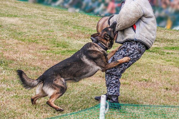 訓練する犬