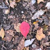 Leaf at Ha Ha Tonka State Park