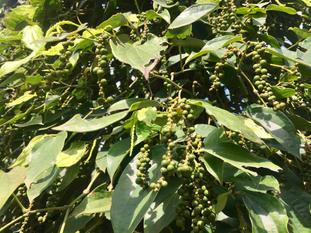 Pepper on the vine.jpg