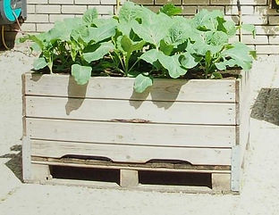 culture legumes.JPG