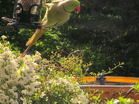 Misguided Parakeets