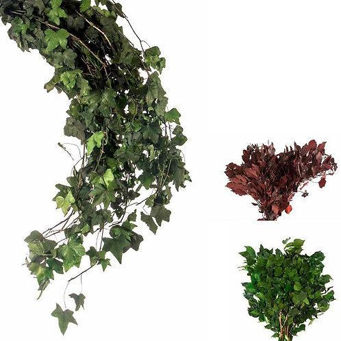 Hedera Arborea / Hedera Helix Mini