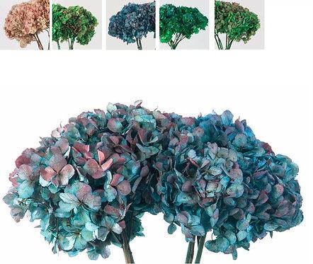 Hortensia - Natural Bicolor