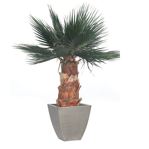 Washingtonia palm tree