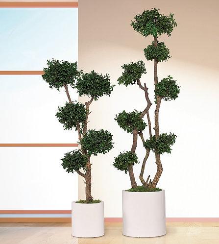 Tenuifolium multi spheres tree