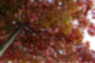 Parasolboom Moeraseik