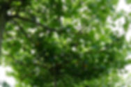 Parasolboom Plataan