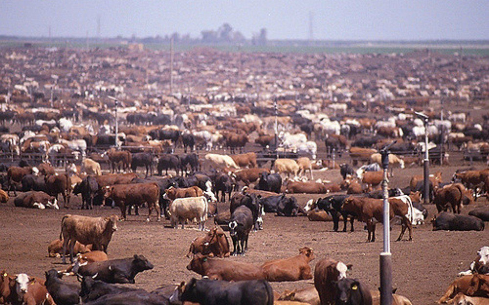 many thousands of cows cramped together in a field