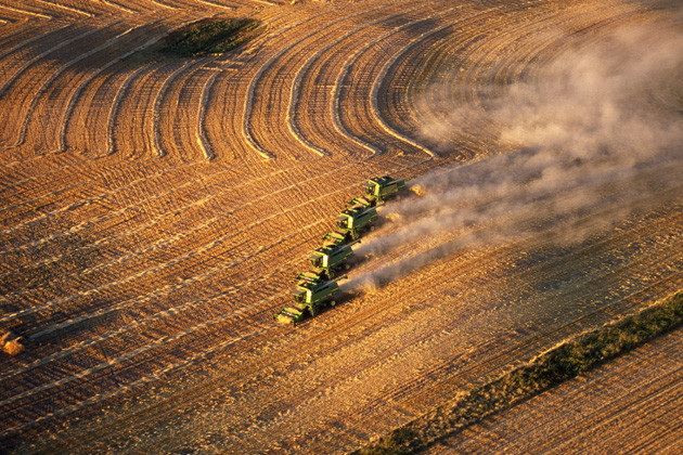 a field of corn being cropped by four combine harvesters