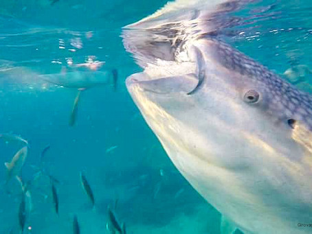 Nuotare con lo squalo balena nelle Filippine
