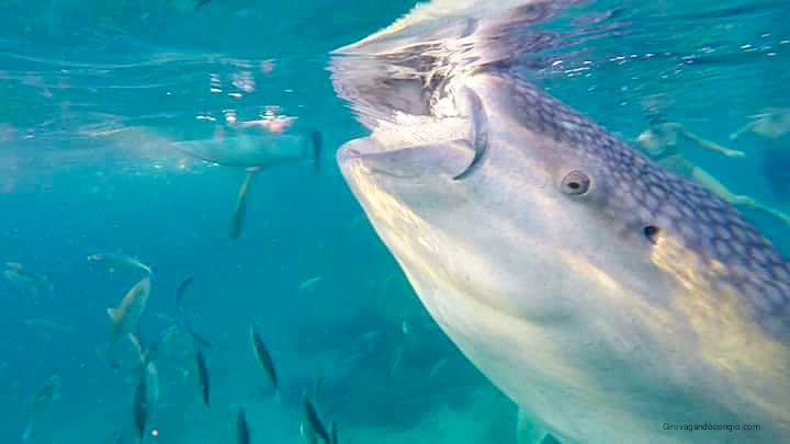 Nuotare con uno squalo balena nelle Filippine
