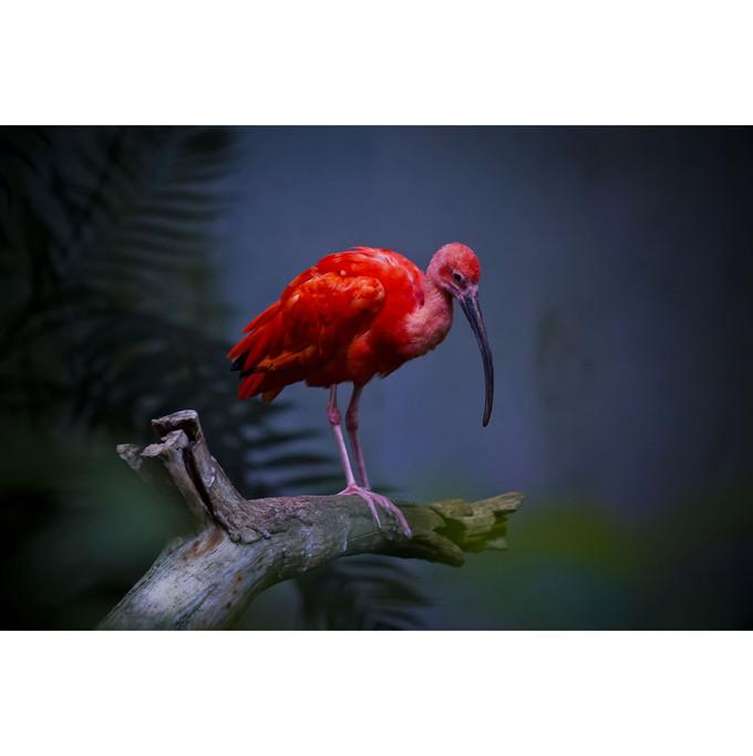 ti oiseau rouge.jpg