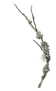 twigs with lichens.png