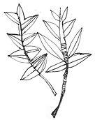 bw-wix-leaf2.jpg