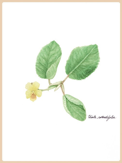 Early Yellow Violet