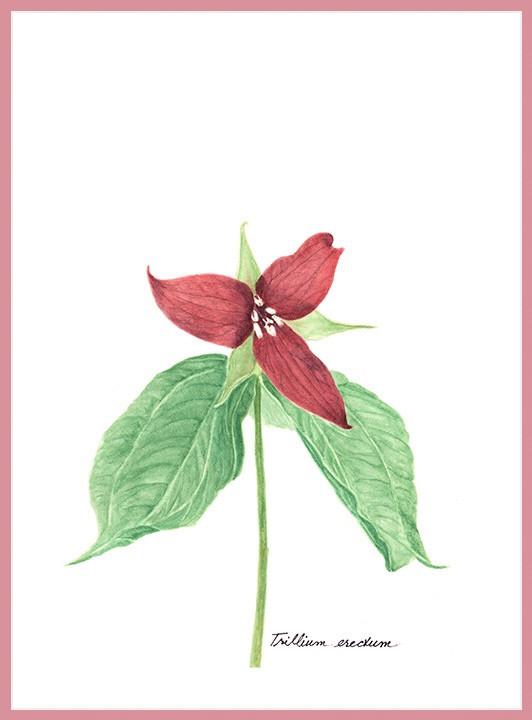 Red Trillium
