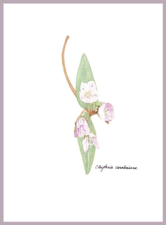 Carolina Spring Beauty