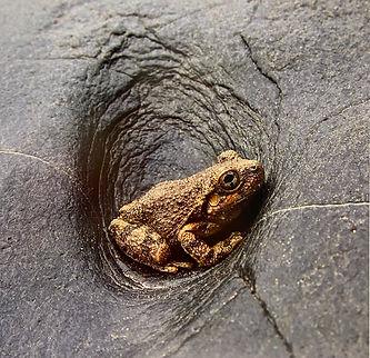 Canyon Treefrog Chris Dillon.jpeg