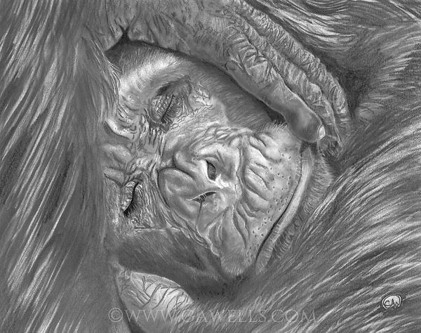 sleeping chimp scanned & wm.jpg