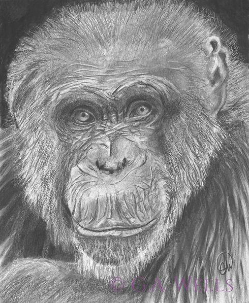 chimp WM.jpg