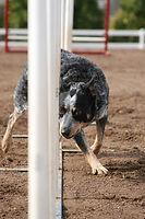 Dog Training - Agility Training
