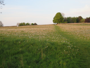 Field of dandylions