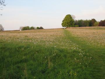 Field of dandylions