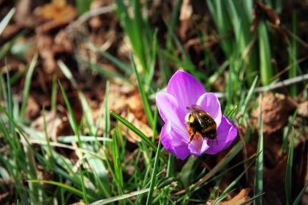 Bee in the Crocus