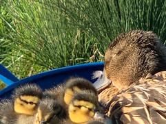 quack and quacklings.jpg